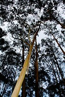 Group of Eucalyptus