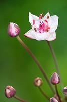 Flowering Rush Butomus umbellatus, flowers, Lower Saxony, Germany