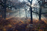 Common Oak Quercus robur, Woodland with Bracken in Autumn Morning Mist, Reinhardwald, North Hessen, Germany