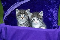 Domestic Cat, Two Kitten Sitting in Basket, Lower Saxony, Germany