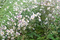 Pale lilac Asters and light pink Anenome flowers