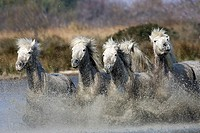 Camargue Horse, Herd Galloping in Swamp, Saintes Marie de la Mer in South East of France