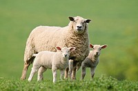 A mother ewe flanked by a pair of lambs, domestic sheep, Ovis aries in a field in North Yorkshire, England