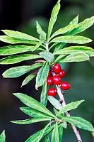 Mezeron Daphne mezereum with are very toxic red berries - Naturpark Altmuehltal, Bavaria/Germany