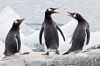 Adult gentoo penguins Pygoscelis papua on ice in Antarctica
