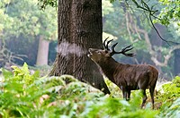 Red Deer Cervus stag roaring Elaphus, Richmond Park, UK