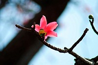 Kateshever ,Red silk cotton ,Bombax ceiba , Shalmali flower poona Mharashtra ,India  Bombax species are among the largest trees in their regions, reac...