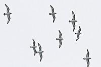Adult cape petrels Daption capense in flight near Deception Island, Antarctica, Southern Ocean