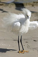 A Snowy Egret, Egretta thula, in breeding plummage being blown by the wind in Fort Myers Beach, Florida  Bad Hair Day