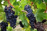 Vineyards in Chateau St Pierre de Pomerol Bordeaux wines district France.