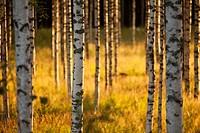 Young birch, betula, trees at evening sun. Location Suonenjoki Finland Scandinavia Europe.