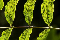 Green leaves with seeds in the forrest of the Chiriqui Highlands, Panama
