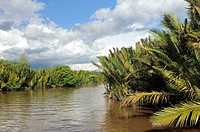 Sekonyer River with Nipa Palms Nypa fruticans, Province Kalimantan, Borneo, Indonesia