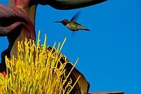 Hummingbird hovering near an Agave Flower