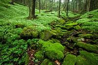 Spring, Phacelia & Trillium, Great Smoky Mtns National Park, TN