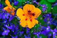 Yellow Nasturtium,Tropaeolum and blue lobelias, Lobeliaceae