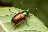 Dogbane Beetle Chrysochus auratus, Bald Eagle State Park, Howard, Centre County, Pennsylvania, USA