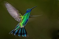 Sparkling violetear hummingbird Colibri coruscans flying in the rain forest of northern Venezuela