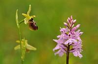 Wild orchids Dactylorhiza fuchsii & Ophrys sphegodes