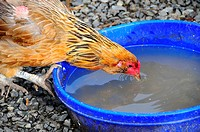 Thirsty Rooster