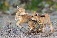 Game of chase between Ethiopian wolf siblings