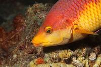 Spanish hogfish in the Caribbean Sea around Bonaire