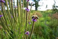 Honeybee on blue vervain flower  Nachusa Grassland Illinois