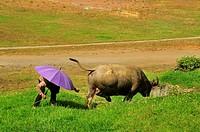 man with umbrella and water buffalo, Bubalus bubalis, grazing beside soccer field, Sapa, Lao Cai Province, Vietnam