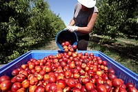 Collecting nectarines from trees  LLeida  Spain