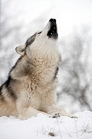 North American Timber wolf, Canis Lupus howling in the snow in deciduous forest