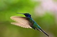 Sparkling violetears Colibri coruscans in flight with translucent wings open in the cloud forest near Caracas Venezuela