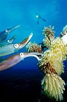Mating Reef Squid Sepioteuthis lessoniana  Witu Islands  Papua New Guinea