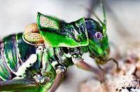 Bush cricket (Ephippiger cruciger), Majorca, Balearic Islands, Spain