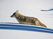 Coyote Canis latrans hunting along Lamar Valley at Yellowstone National Park, Mammoth Hot Springs, Wyoming, USA