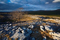 England, North Yorkshire, Yorkshire Dales National Park. Lone tree and limestone pavement in the area known as Moughton Scars near the small village o...