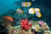 Panda butterflyfish (Chaetodon adiergastos) over coral reef with soft corals. Andaman Sea, Thailand.