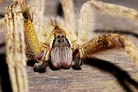 Male Wandering Spider, Ctenidae, Araneida, Arachnida.