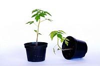 Gravitropism in tomato plant. Plant on right has negative gravitropic response.