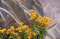 Marigolds. Pigeon Valley, Goreme. Cappadocia, Central Anatolia, Turkey.