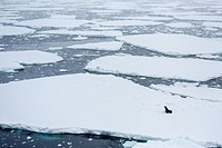 Adult Antarctic fur seal, Arctocephalus gazella, on ice floe in Crystal Sound, below the Antarctic Circle, Antarctica, Southern Ocean.