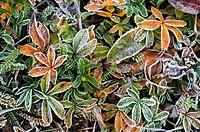 National Park Gran Paradiso, herbs in hoar frost, Valsavarenche, Italia.