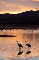USA, New Mexico, Bosque del Apache National Wildlife Refuge, Greater Sandhill Cranes (Grus Canadensis Tabida), sunset.