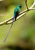 Long-tailed Sylph hummingbird San Eusebio Cloud Forest Venezuela.