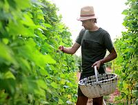 Mediterranean organic farming, vegetable garden, Riojan red beens from Anguiano. La Rioja, Rioja wine región, Spain. Europe.