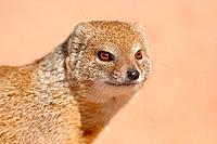 Yellow mongoose, Cynictis penicillata, Kgalagadi Transfrontier Park, Northern Cape, South Africa.