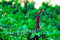 A Bee-eater sits on a pole in a vineyard searching for bees.