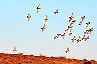 A group of European Turtle Dove fly over desert sky.