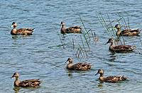 Mallard ducks on a lake.