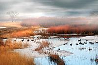 Branta canadensis migrating, Canada