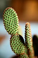 Cinnamon Cactus Opuntia microdasys vari. rufida.